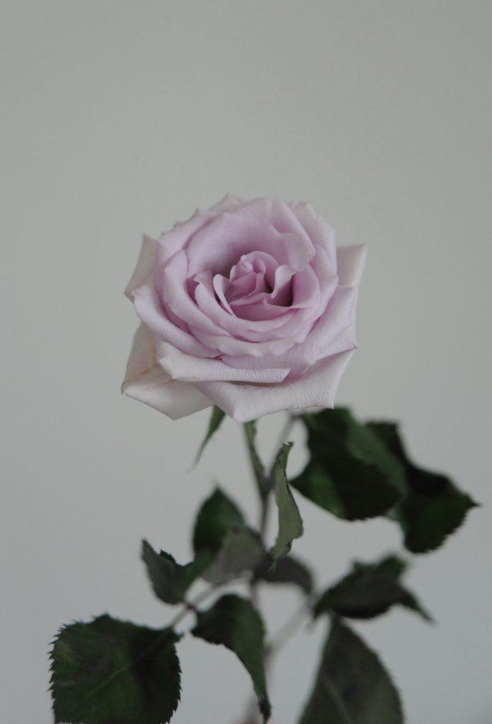 lilac coloured rose