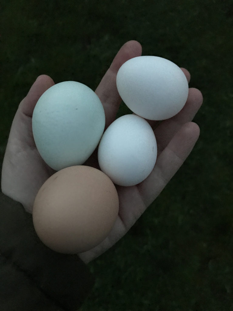 different coloured chickens eggs