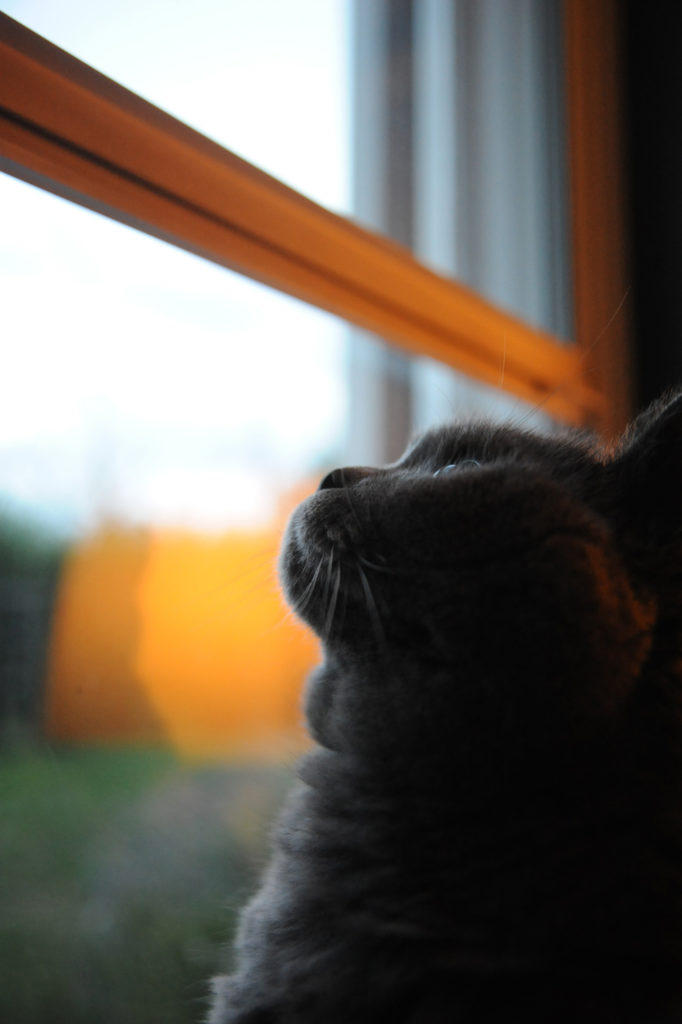 grey cat looking out of window with glowing light reflected