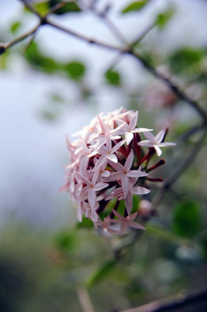pink flowering plant in Akagera National Park, Rwanda