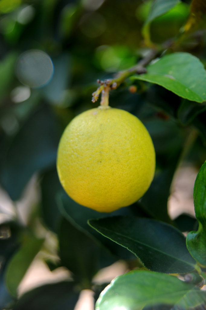 lime ripening on the tree